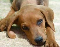 Piccolo cane adorabile Fotografia Stock
