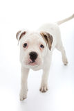 Piccolo cane adorabile con gli occhi droopy tristi fotografie stock libere da diritti