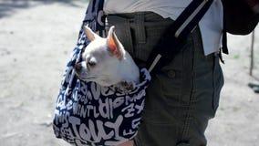 Piccolo cane adorabile nella borsa blu scuro del viaggiatore, giorno soleggiato clip Piccolo cane bianco nella borsa di viaggio I stock footage