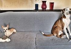 Piccolo cane avido Fotografia Stock Libera da Diritti