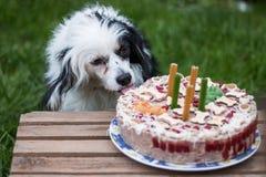 Piccolo cane in bianco e nero sveglio che mangia torta di compleanno Fotografie Stock Libere da Diritti
