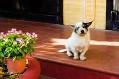 Piccolo cane bianco-nero lanuginoso che si siede vicino alla suoi casa e vaso con i fiori rosa e bianchi luminosi Fotografia Stock Libera da Diritti