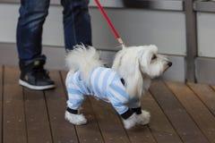 Piccolo cane bianco in un vestito su un guinzaglio fotografia stock