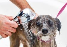 Piccolo cane che è risciacquato nel bagno immagine stock libera da diritti