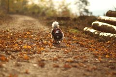 Piccolo cane che cammina giù la foresta immagini stock libere da diritti