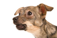 Piccolo cane che riposa sulla priorità bassa bianca Fotografie Stock Libere da Diritti