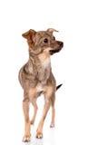 Piccolo cane che riposa sulla priorità bassa bianca Fotografia Stock Libera da Diritti