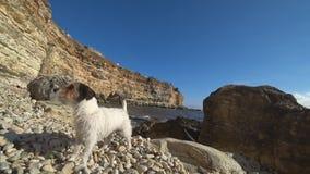 Piccolo cane che scorteccia sulla spiaggia video d archivio