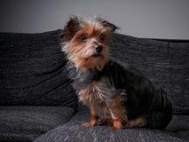 Piccolo cane che si siede sul sedile e che esamina uomo fotografia stock
