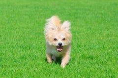 Piccolo cane che si trova sull'erba Immagini Stock Libere da Diritti