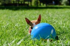 Piccolo cane con le grandi orecchie che hidding dietro la palla blu Immagine Stock Libera da Diritti