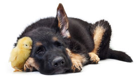 Piccolo cane da pastore sveglio del tedesco del cucciolo e del pollo Fotografie Stock