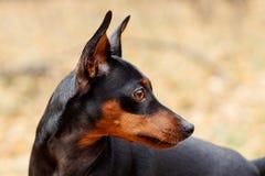 Piccolo cane del Brown Immagini Stock Libere da Diritti
