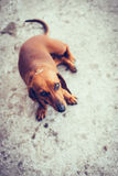 Piccolo cane del Brown Fotografie Stock