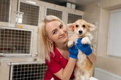 Piccolo cane del corgi della donna della tenuta bionda attraente del veterinario sulle sue mani all'ospedale dell'animale domesti immagini stock libere da diritti