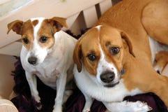 Piccolo cane del grande cane Fotografie Stock