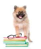Piccolo cane dello spitz con i vetri ed i libri del mucchio Isolato su bianco Fotografia Stock