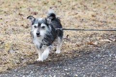 Piccolo cane di animale domestico fuori per i walkies Immagine Stock