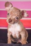 Piccolo cane di cucciolo Fotografia Stock