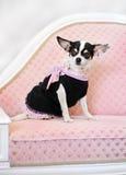 Piccolo cane di fascino sul sofà Fotografia Stock