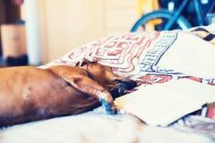 Piccolo cane divertente che riposa confortevolmente sullo strato Immagine Stock Libera da Diritti