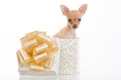 Piccolo cane divertente in contenitore di regalo Fotografie Stock Libere da Diritti