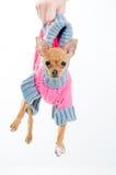 Piccolo cane divertente in maglione Fotografie Stock
