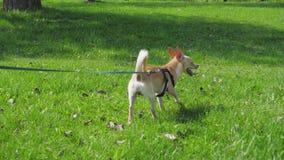 Piccolo cane divertente sul guinzaglio a prato inglese verde nel giorno soleggiato in parco stock footage