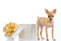 Piccolo cane divertente vicino al contenitore di regalo Fotografie Stock