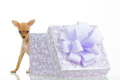 Piccolo cane divertente vicino al contenitore di regalo Immagine Stock