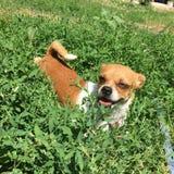 Piccolo cane dolce Immagini Stock Libere da Diritti