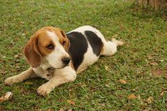 Piccolo cane ed il suo campo da giuoco fotografia stock libera da diritti