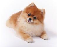 Piccolo cane femminile di esposizione dell'animale domestico di Pomeranian Fotografie Stock