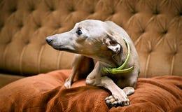Piccolo cane grigio Fotografia Stock