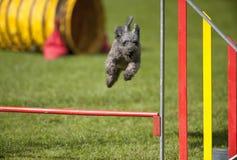 Piccolo cane grigio Pumi che salta sopra l'ostacolo sul corso di agilità fotografia stock