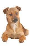 Piccolo cane isolato su bianco fotografie stock libere da diritti