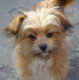 Piccolo cane marrone chiaro Fotografia Stock Libera da Diritti