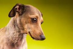 Piccolo cane marrone del bassotto tedesco dei peli di scarsità Fotografia Stock Libera da Diritti