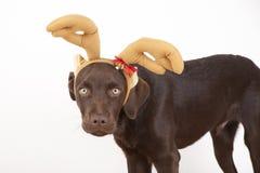 Piccolo cane marrone dolce di Labrador con un costume Fotografie Stock