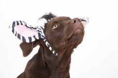 Piccolo cane marrone dolce di Labrador con un costume Fotografie Stock Libere da Diritti