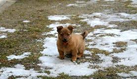 Piccolo cane marrone nell'iarda Immagini Stock