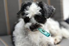 Piccolo cane moggy malato con il termometro di febbre immagini stock libere da diritti
