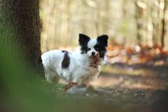 Piccolo cane nel legno Fotografia Stock