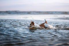 Piccolo cane nell'acqua, saltante sull'onda Animale domestico sulla vacanza Fotografia Stock