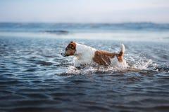 Piccolo cane nell'acqua, saltante sull'onda Animale domestico sulla vacanza Immagini Stock Libere da Diritti