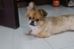 Piccolo cane nella casa Fotografia Stock