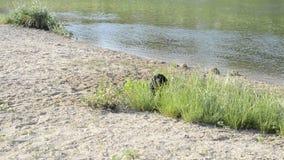 Piccolo cane nero scorteccia sulla sponda del fiume stock footage