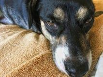 Piccolo cane nero sul letto Fotografie Stock Libere da Diritti