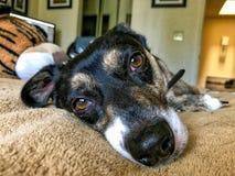 Piccolo cane nero sul letto Fotografia Stock
