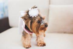 Piccolo cane piacevole Immagine Stock Libera da Diritti
